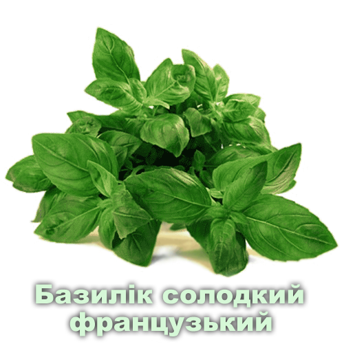 Базилік солодкий французький / Ocimum basilicum