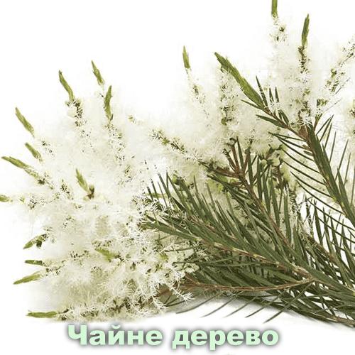 Чайне дерево / Melaleuca alternifolia