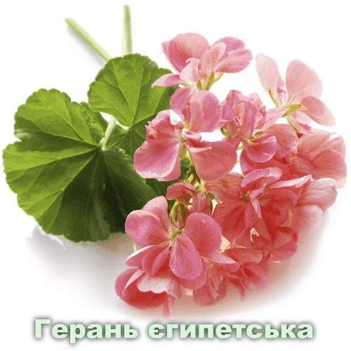 Герань єгипетська / Pelargonium graveolens