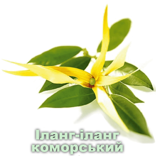 іланг-іланг коморський / Cananga odorata hook