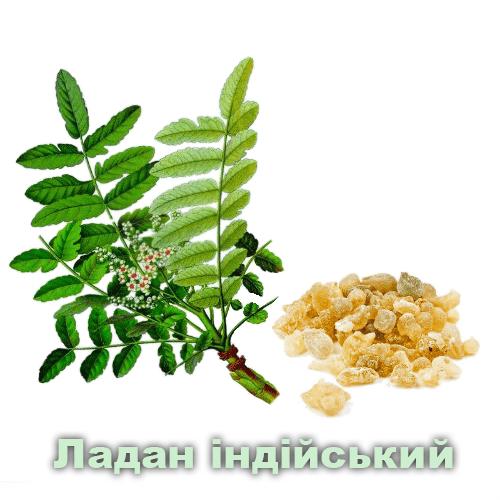 Ладан індійський / Boswellia serrata