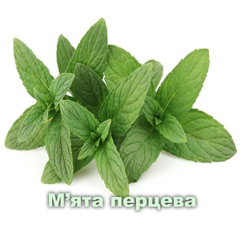 М'ята перечна / Mentha arvensis L.