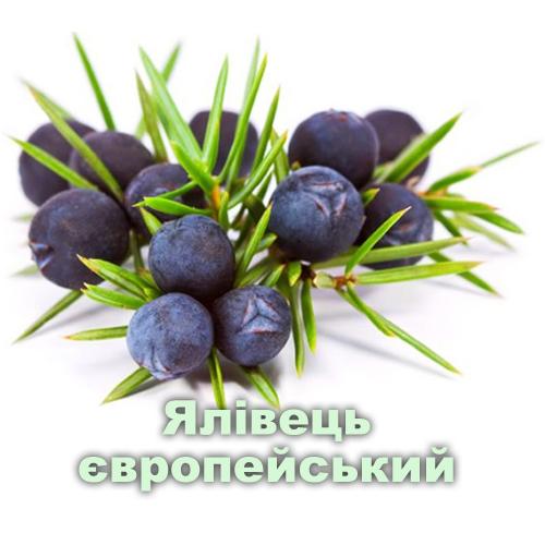 Ялівець європейський / Juniperus communis