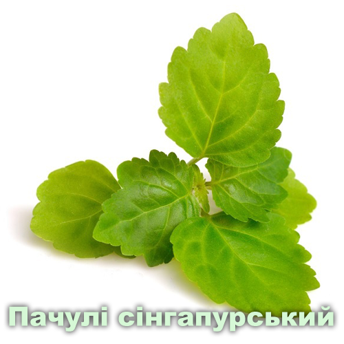 Пачули сінгапурський / Pogostemum cablin