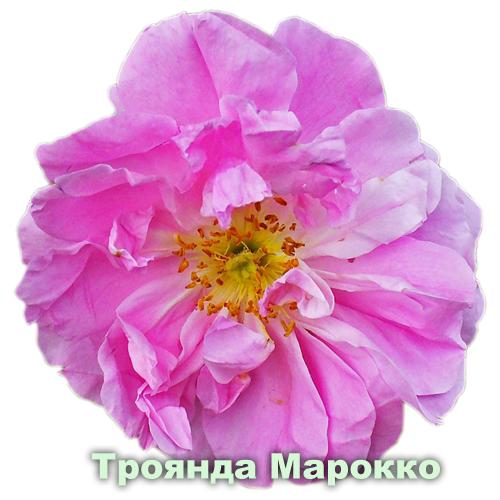 Троянда Марокко / Rosa centifolia