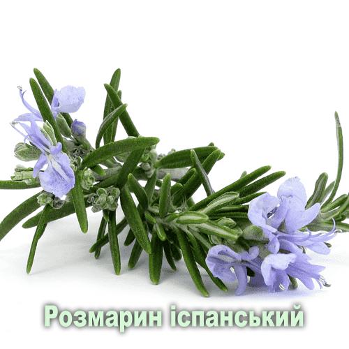 Розмарин іспанський / Rosmarinus officinalis L.