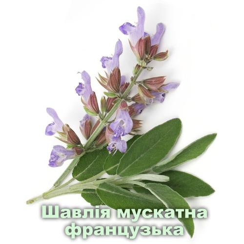 Шавлія мускатна французька / Salvia sclarea L.