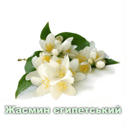 Жасмин єгипетський / Jasminum sambac sol.