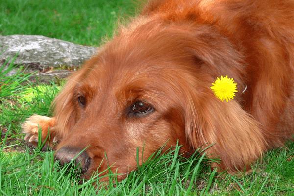 Лечение собак при помощи эфирных масел