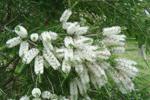 Лечение заболеваний эфирным маслом чайного дерева