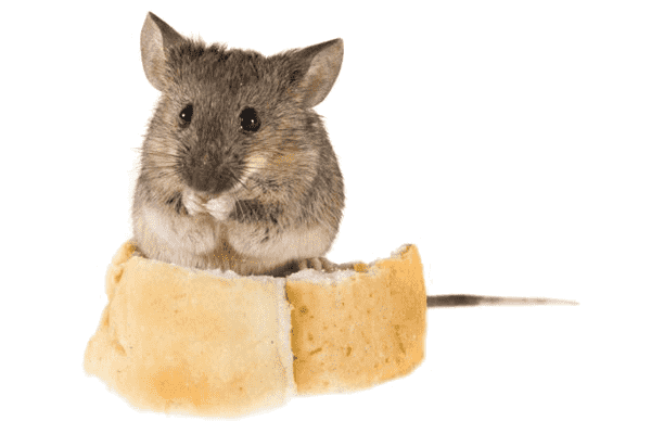 Отпугивание мышей эфирными маслами