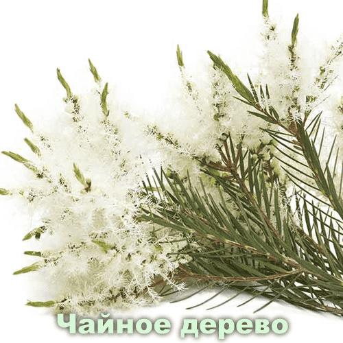 Чайное дерево / Melaleuca alternifolia