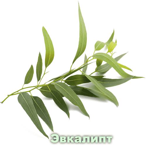 Эвкалипт / Eucalyptus globulus