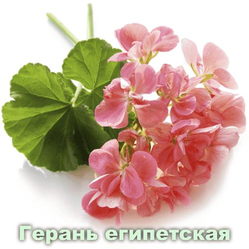 Герань египетская / Pelargonium graveolens