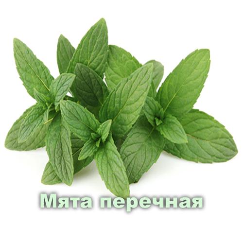 Мята перечная / Mentha arvensis L.