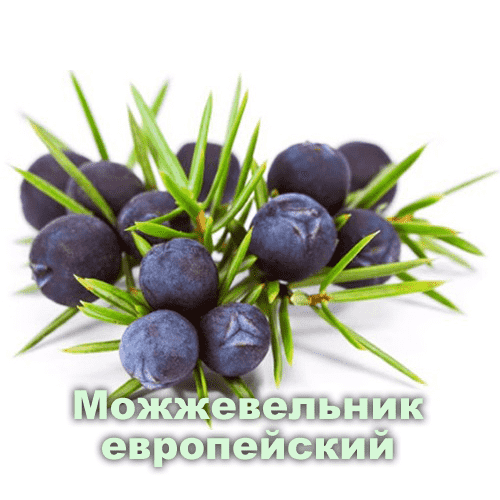 Можжевельник европейский / Juniperus communis