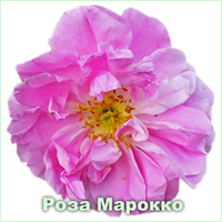 Эфирное масло розы марокканской Vivasan