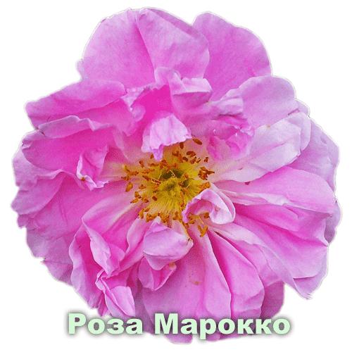 Роза Марокко / Rosa centifolia