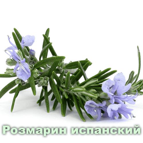 Розмарин испанский / Rosmarinus officinalis L.