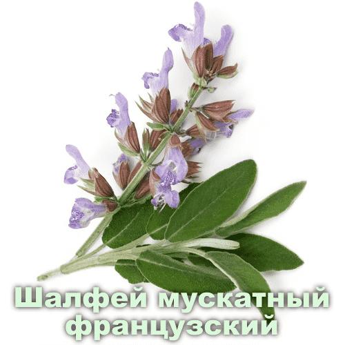 Шалфей мускатный французский / Salvia sclarea L.