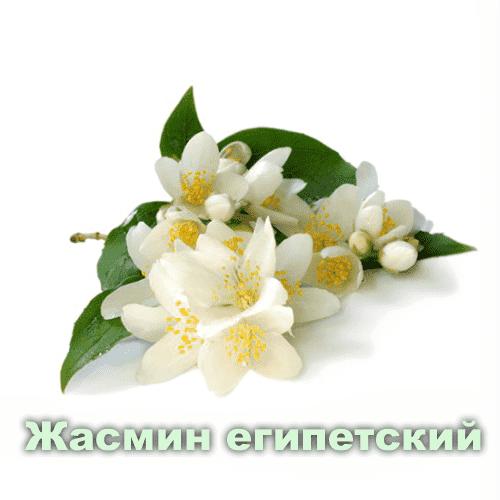 Жасмин египетский / Jasminum sambac sol.